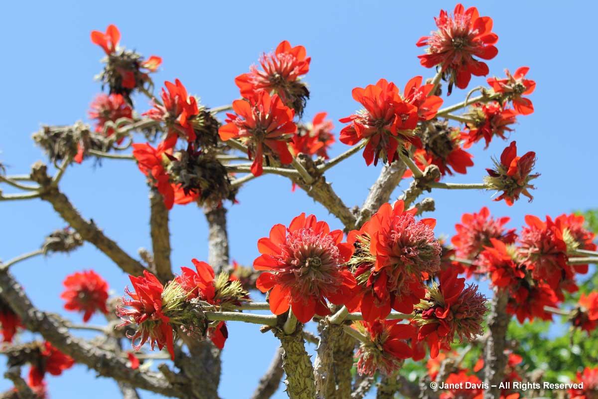 33-Erythrina latissima-broad-leaved coral tree