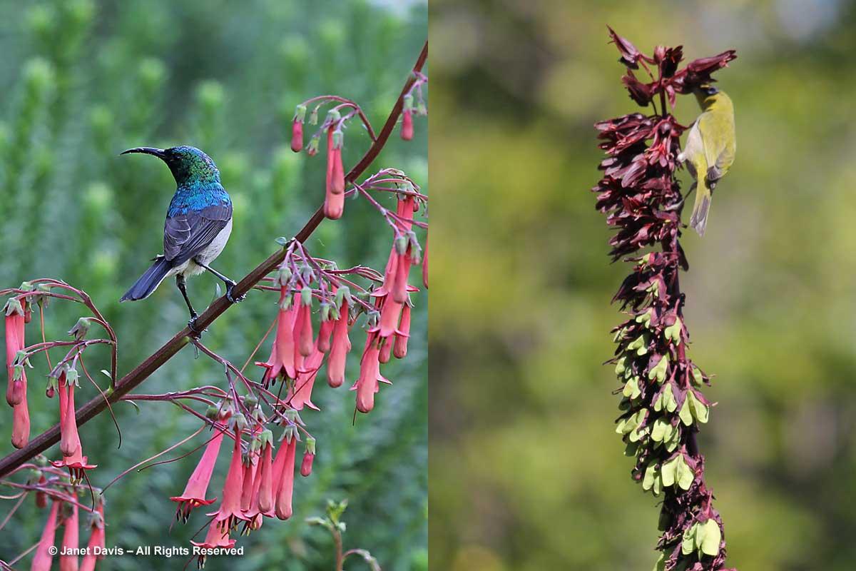 34-Birds nectaring-Kirstenbosch