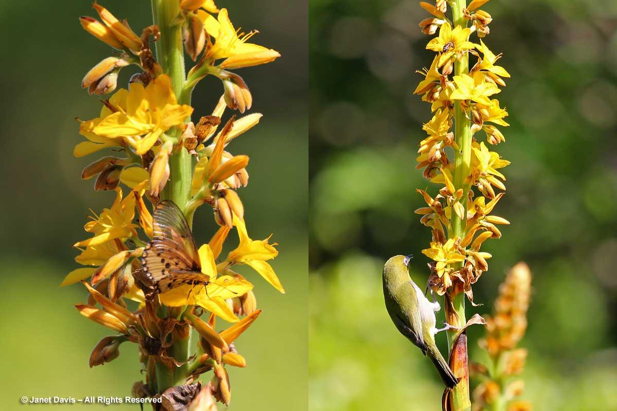 35-Wachendorfia thyrsiflora-bird & bee nectaring