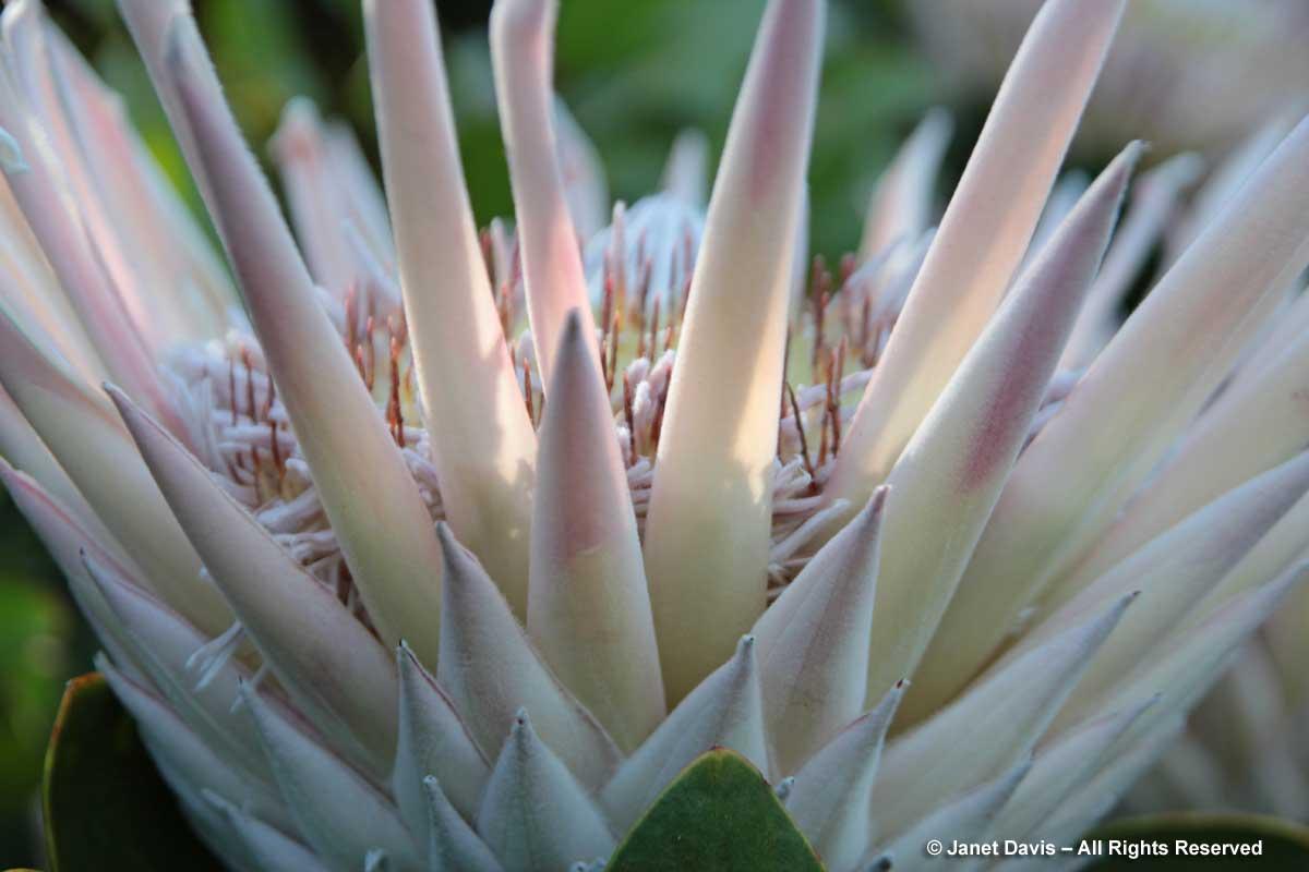 42-Protea cynaroides