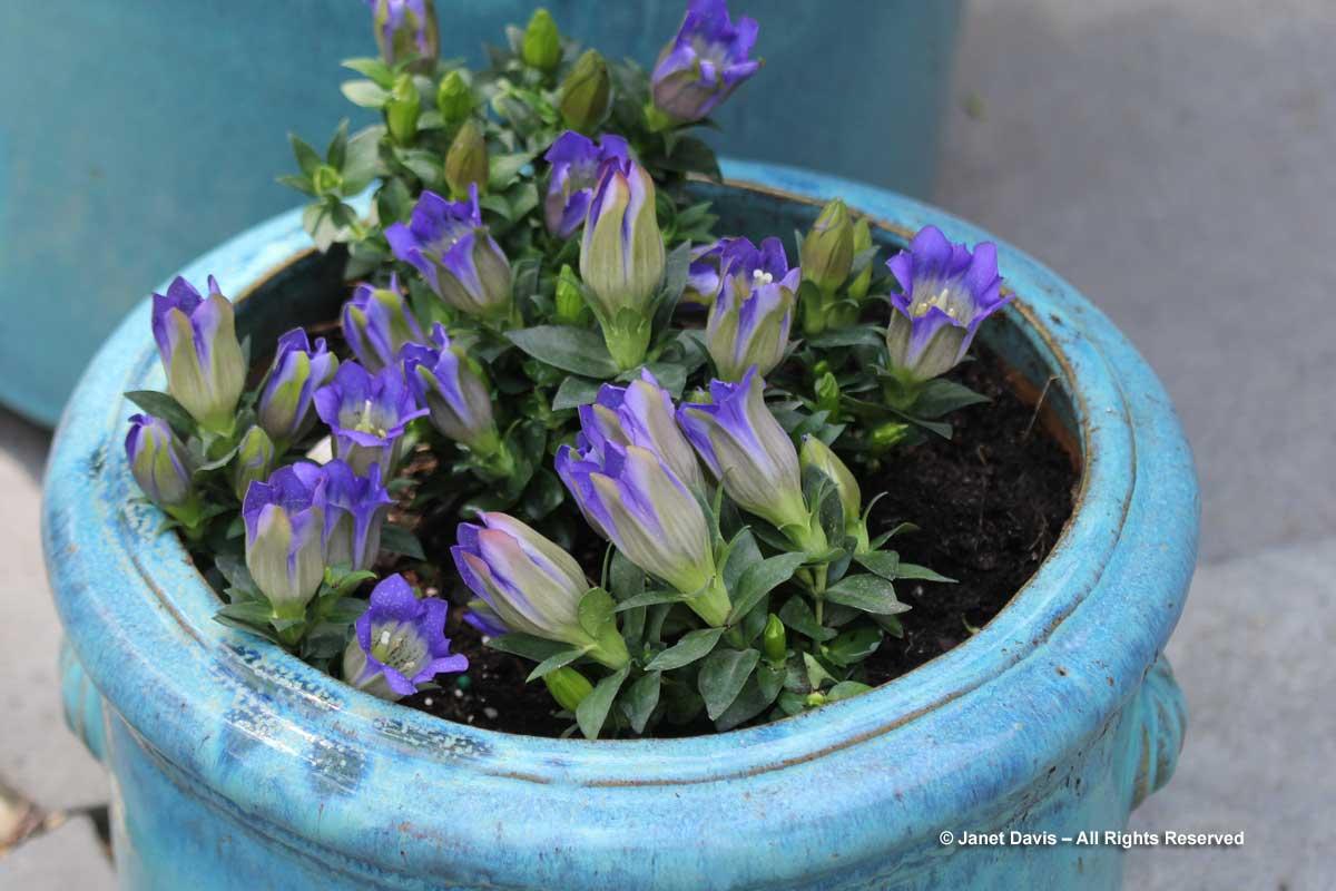 Gentiana-Rocky Mountain Blue Heart