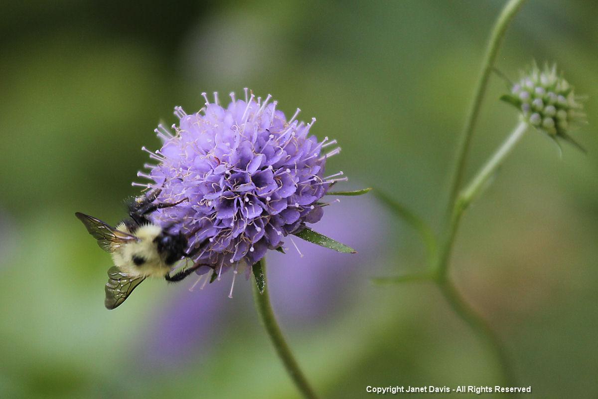 Succisa & bee