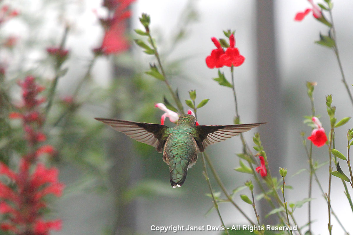 Hummingbird back