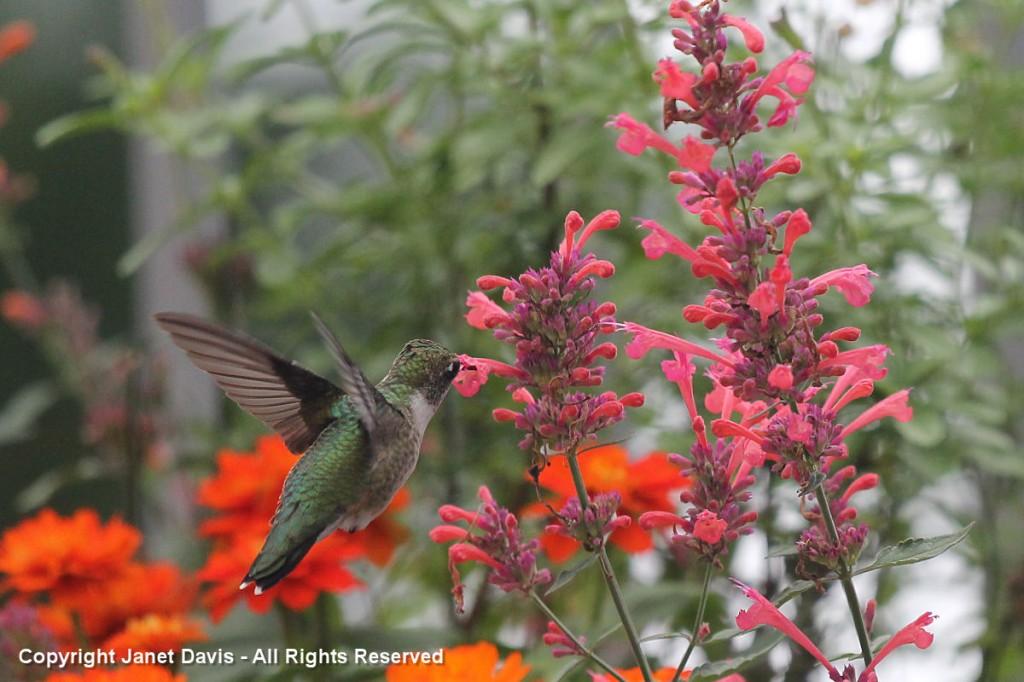 Hummingbird on agastache kudos coral janet davis for Agastache cuisine