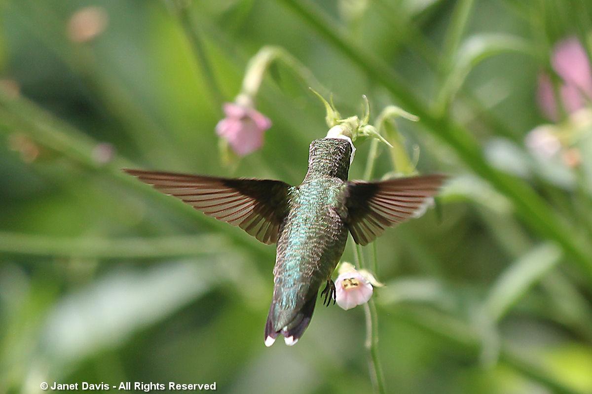 Hummingbird on Nicotiana mutabilis