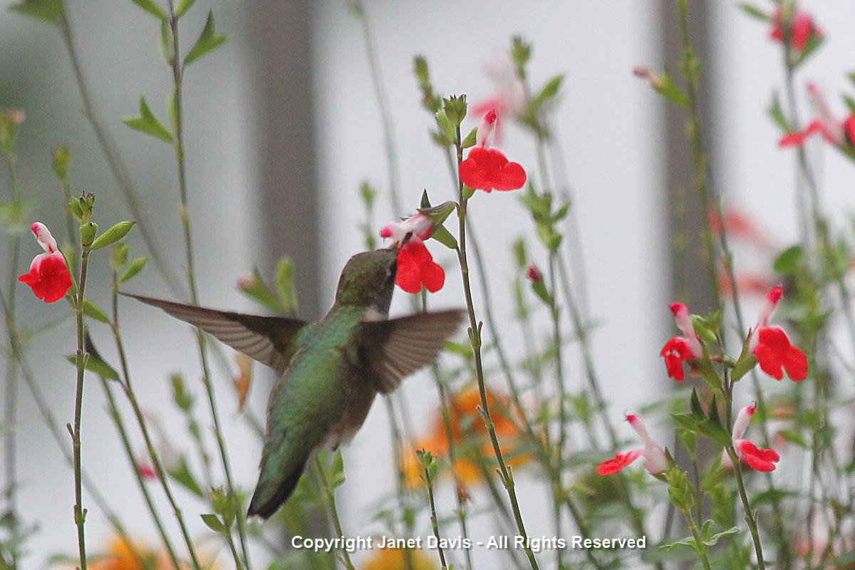 Hummingbird on Salvia 'Hot Lips'