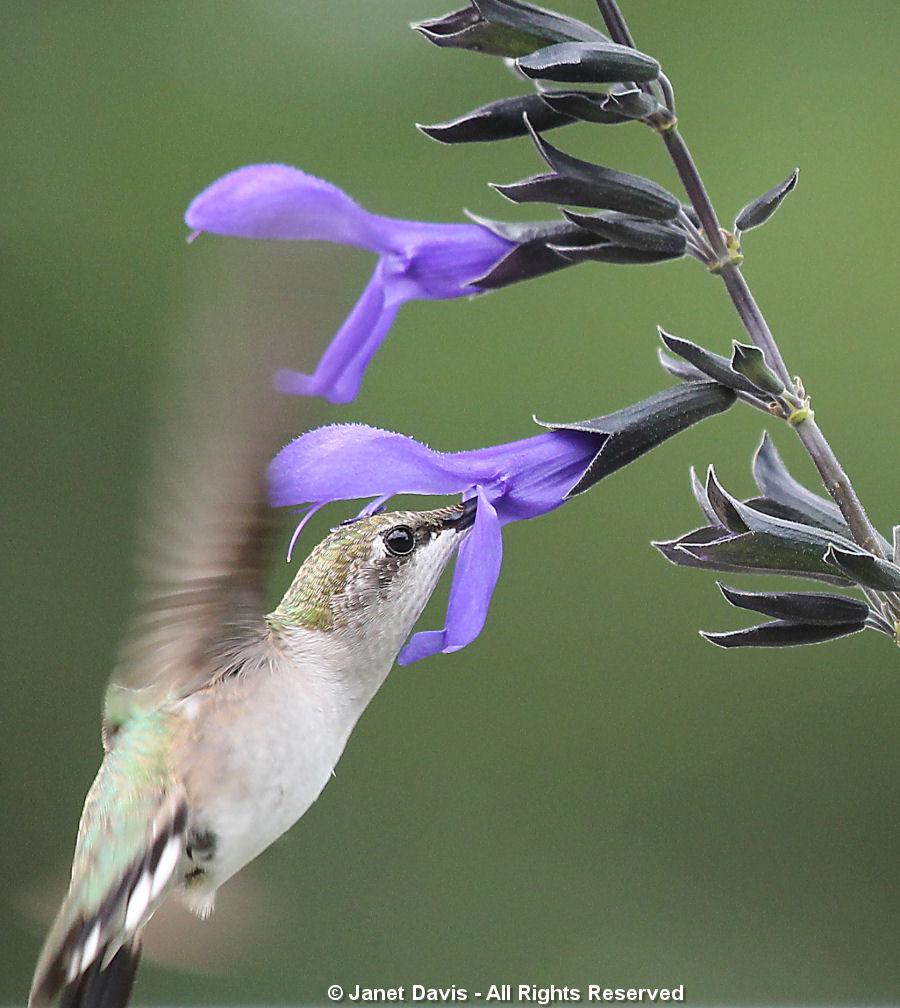 Hummingbird on Salvia3