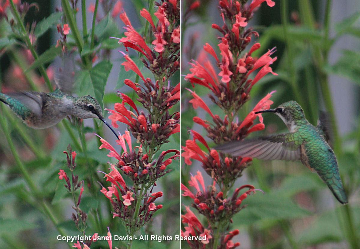 Hummingbird-on agastache