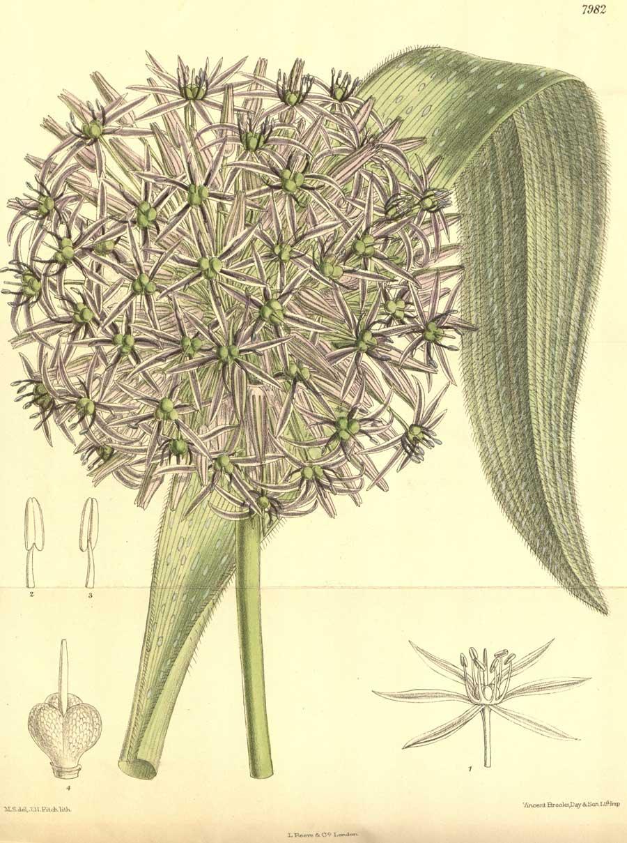 Allium albopilosum-John Nugent Fitch-1904