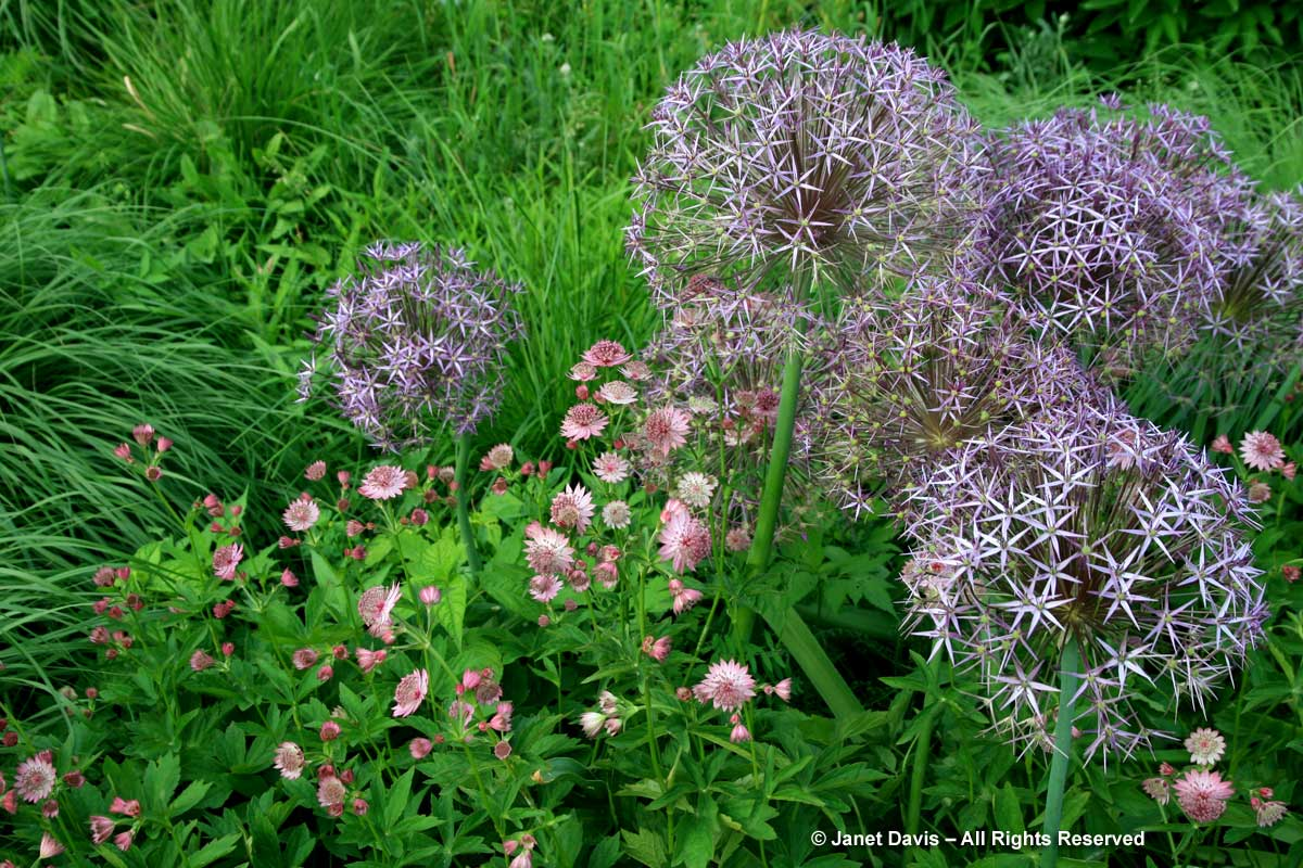 Allium cristophii & Astrantia major 'Roma'