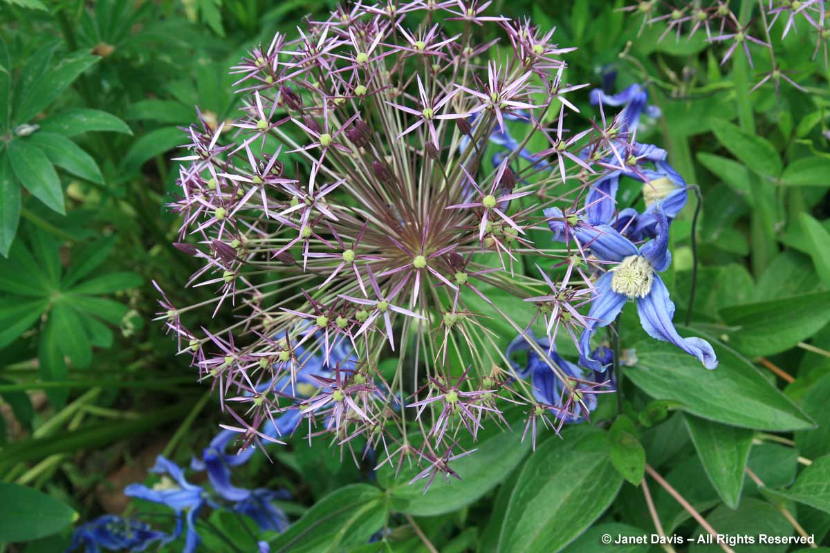 Allium cristophii & Clematis integrifolia