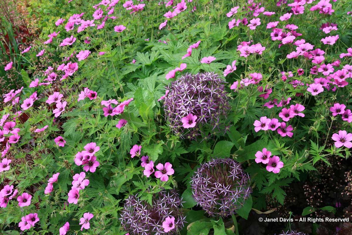 Allium cristophii & Geranium psilostemon