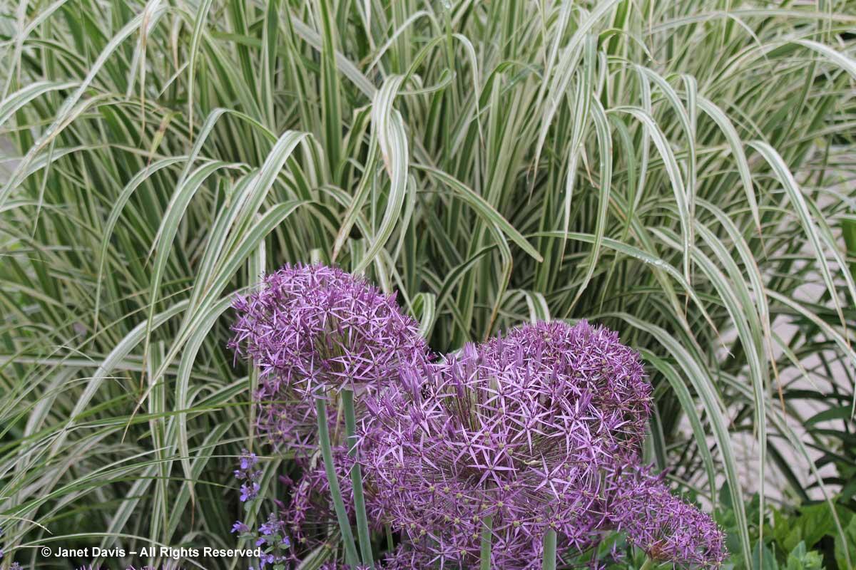 Allium cristophii & Miscanthus sinensis 'Variegatus'