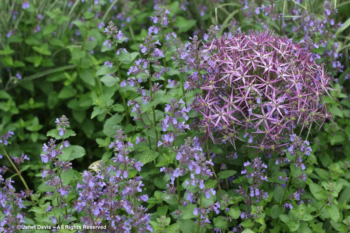 Allium cristophii & Nepeta racemosa 'Walker's Low'