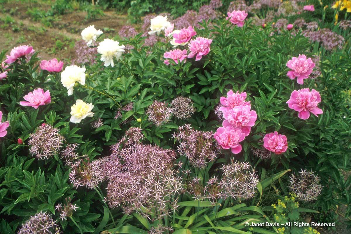 Allium cristophii & Paeonia