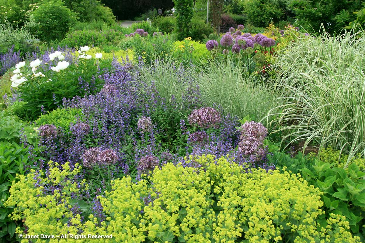 Allium cristophii-Toronto Botanical Garden