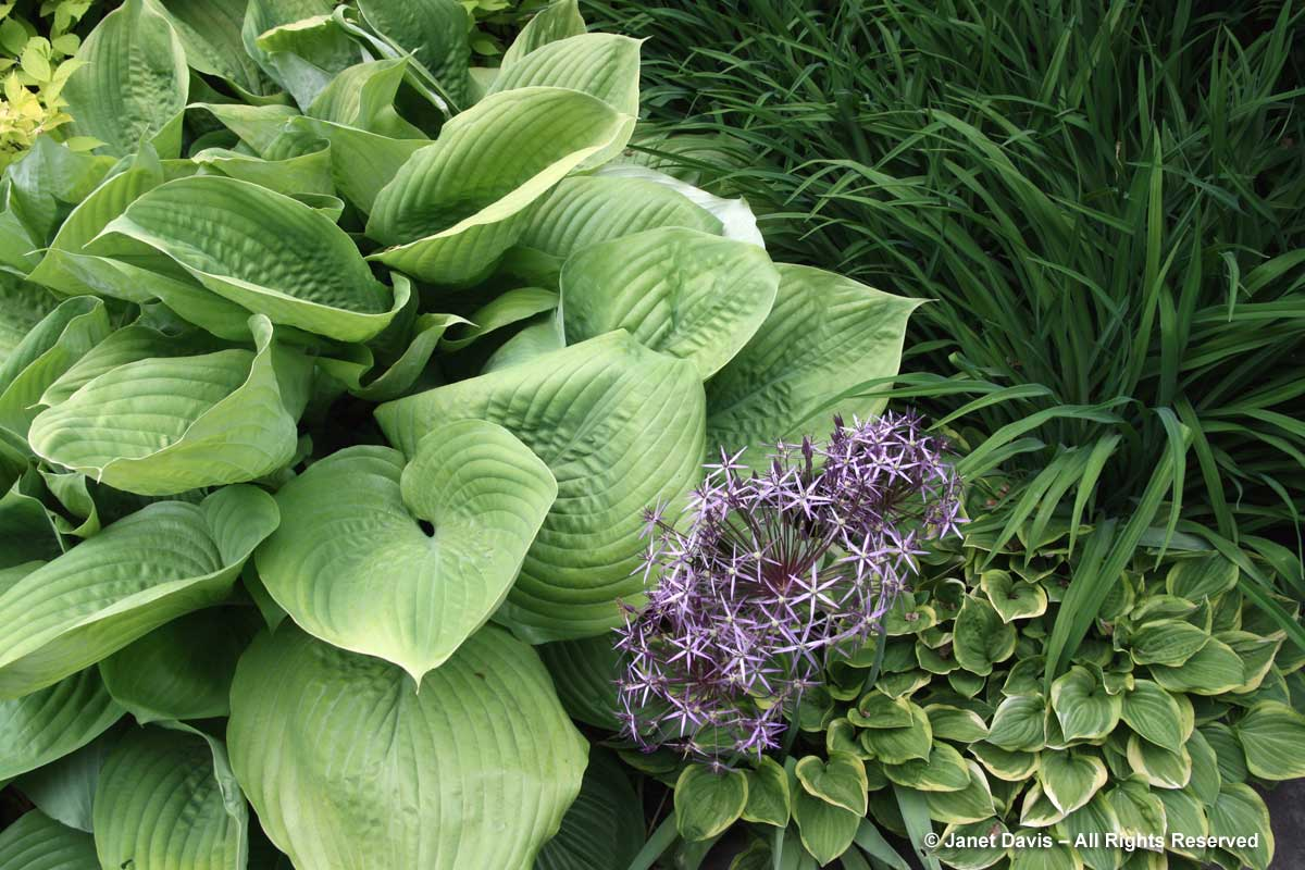 Hosta & Alliuim cristophii