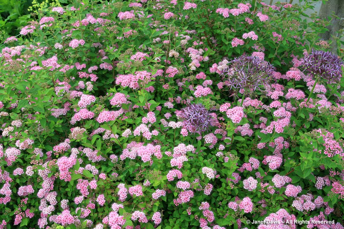 Spiraea japonica 'Little Princess' & Alliium cristophii