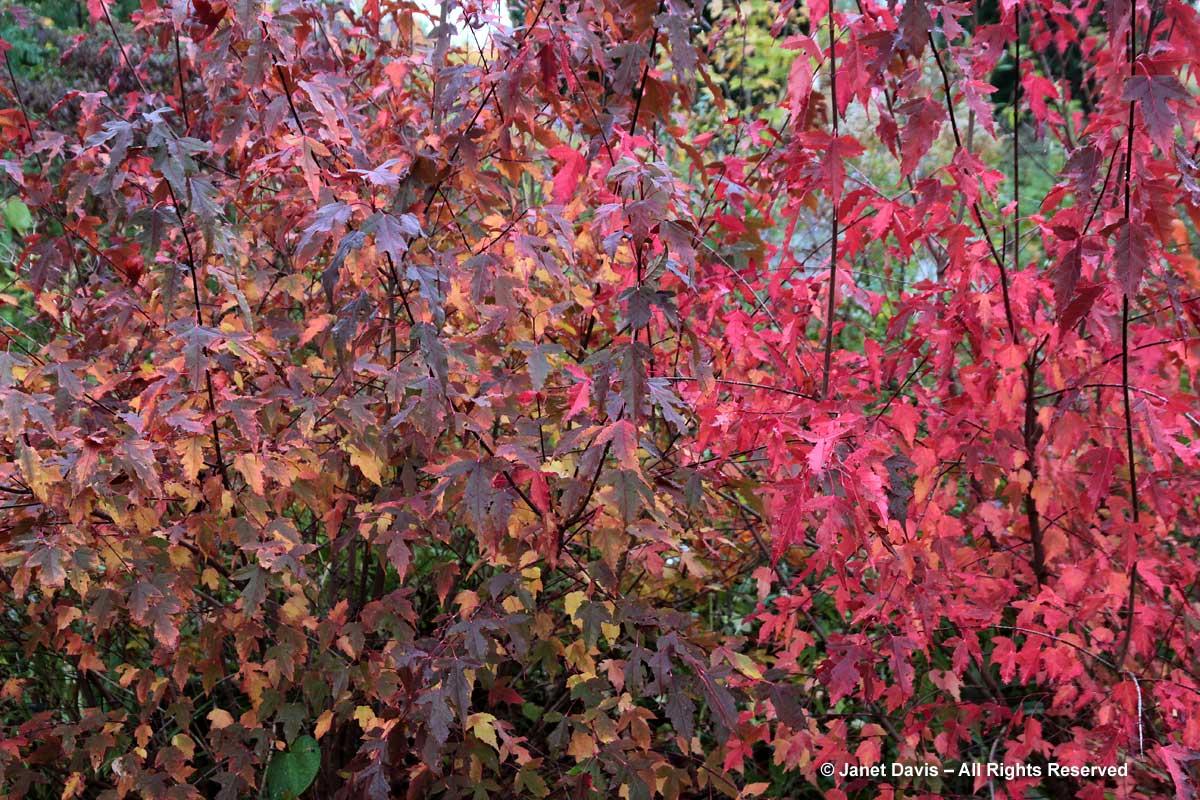 Acer ginnala-Amur maple
