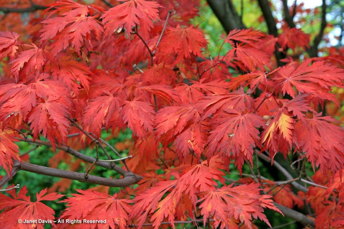 Acer japonicum 'Aconitifolium'-Fullmoon maple