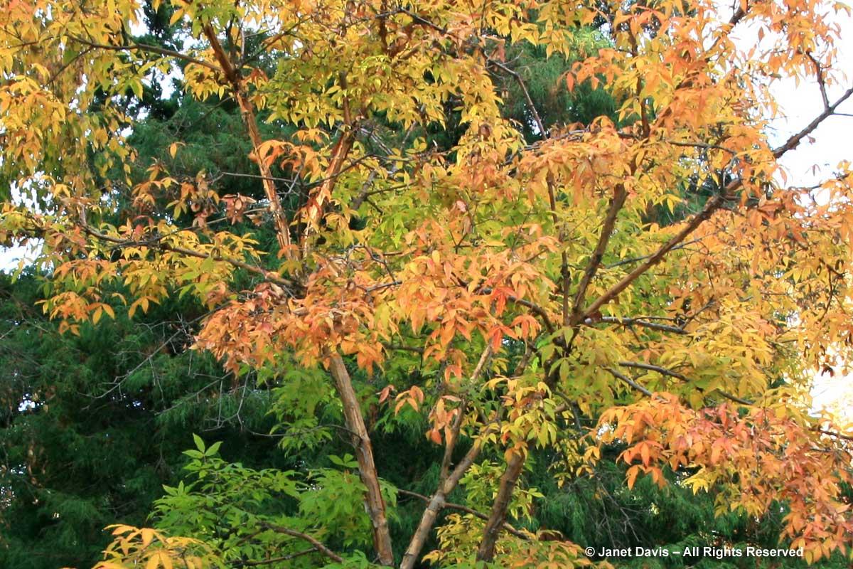Acer mandshuricum-Manchurian maple