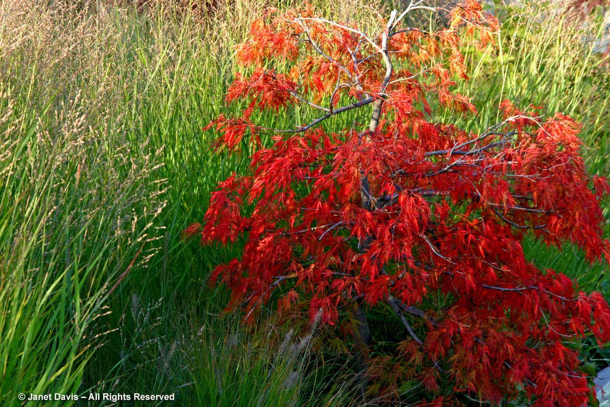 Acer palmatum Dissectum Group 'Waterfall'