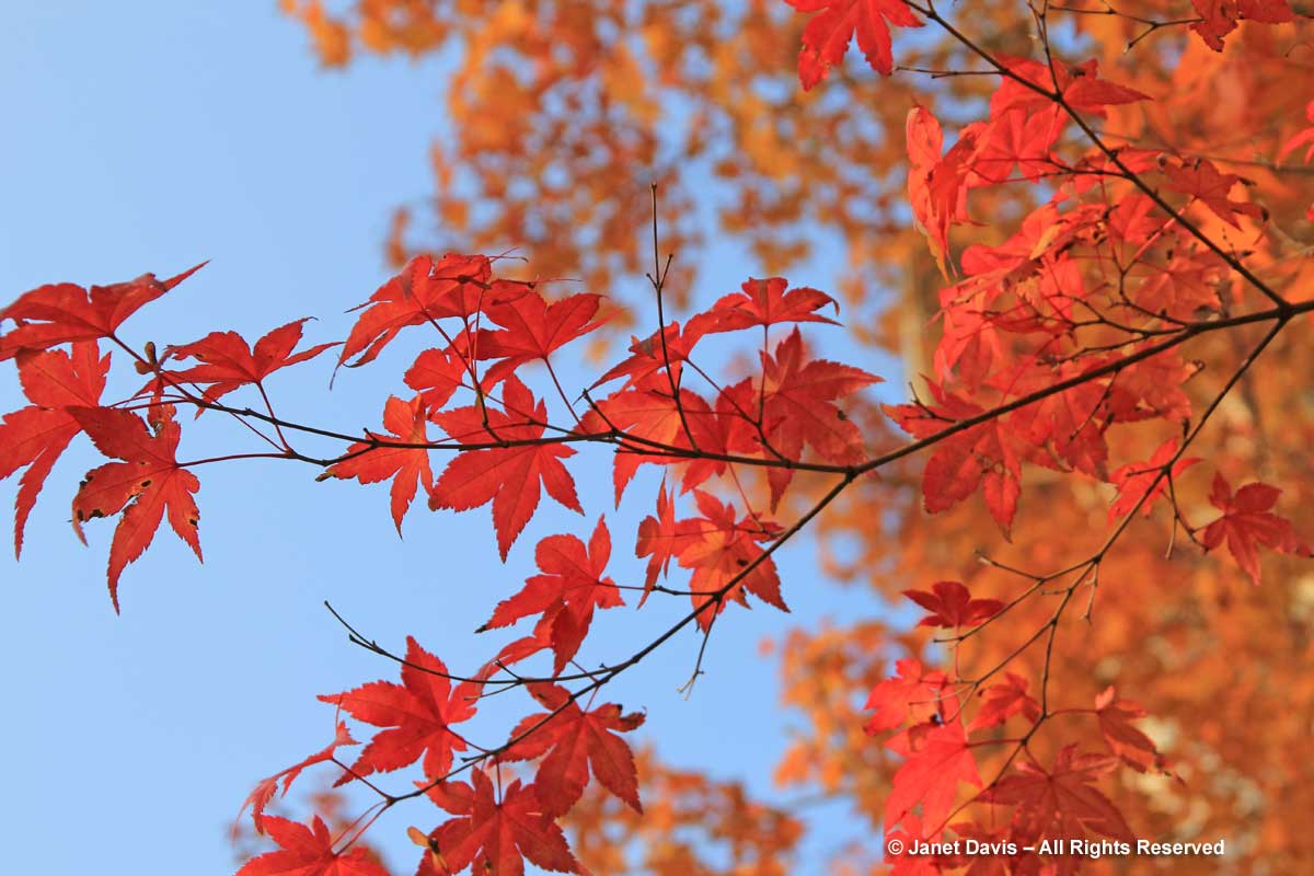 Acer palmatum-Japanese maple leaves