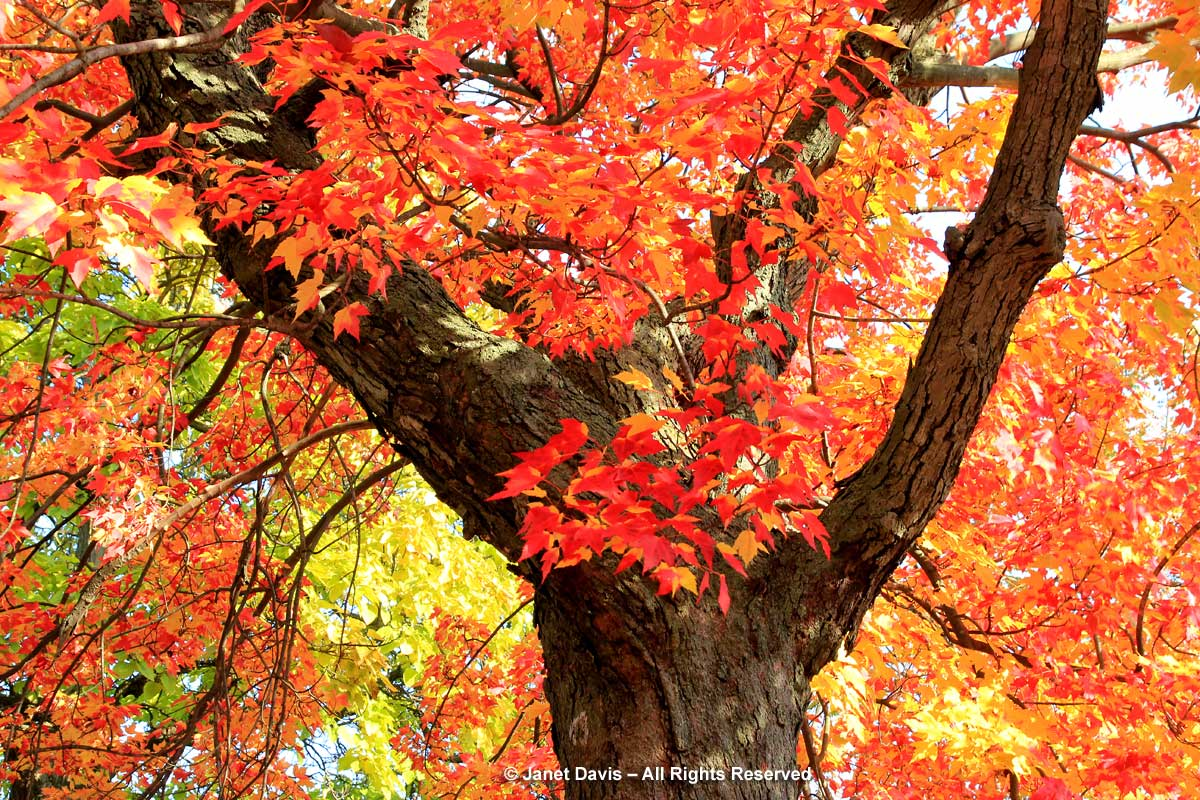 Acer rubrum-Red maple tree