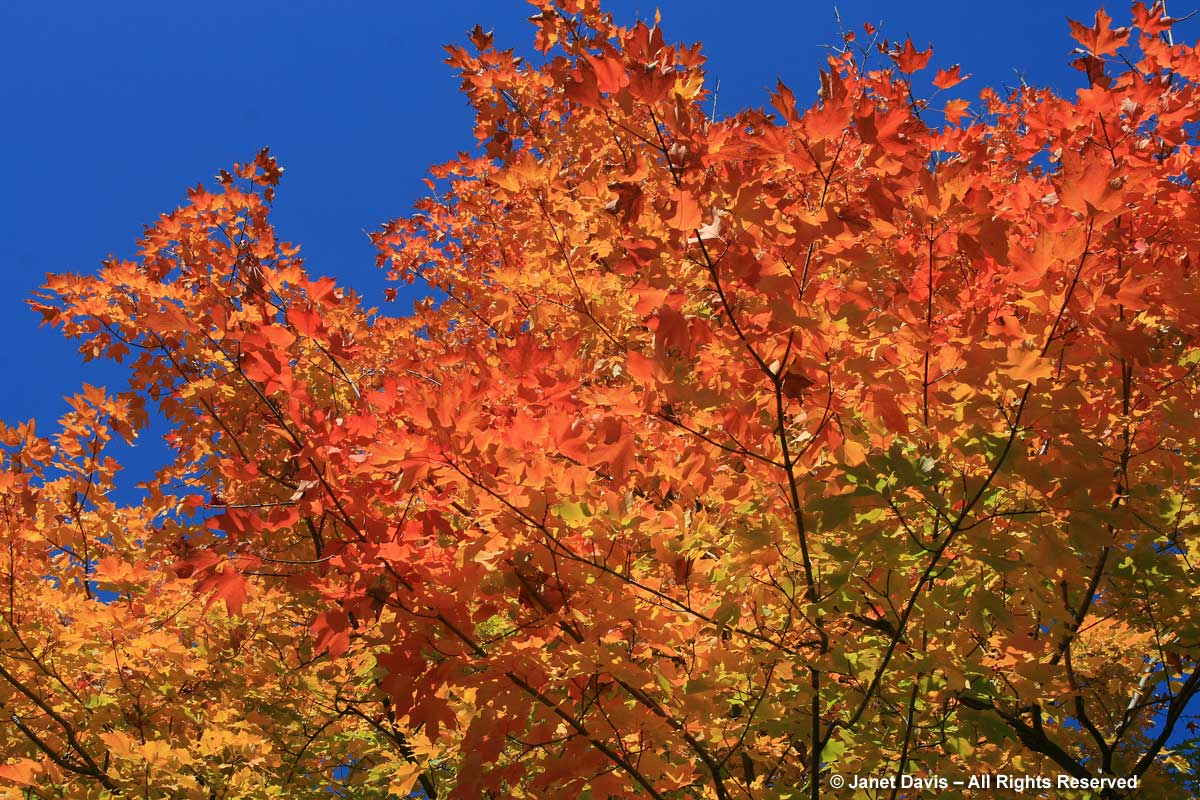 Acer saccharum-Sugar maple