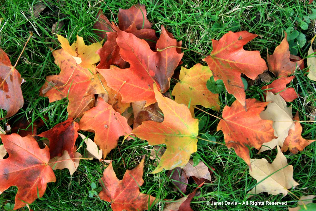Acer saccharum leaves-Sugar maple