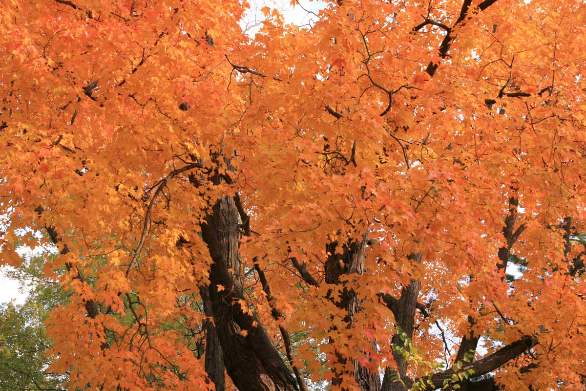 Acer saccharum-sugar maple2