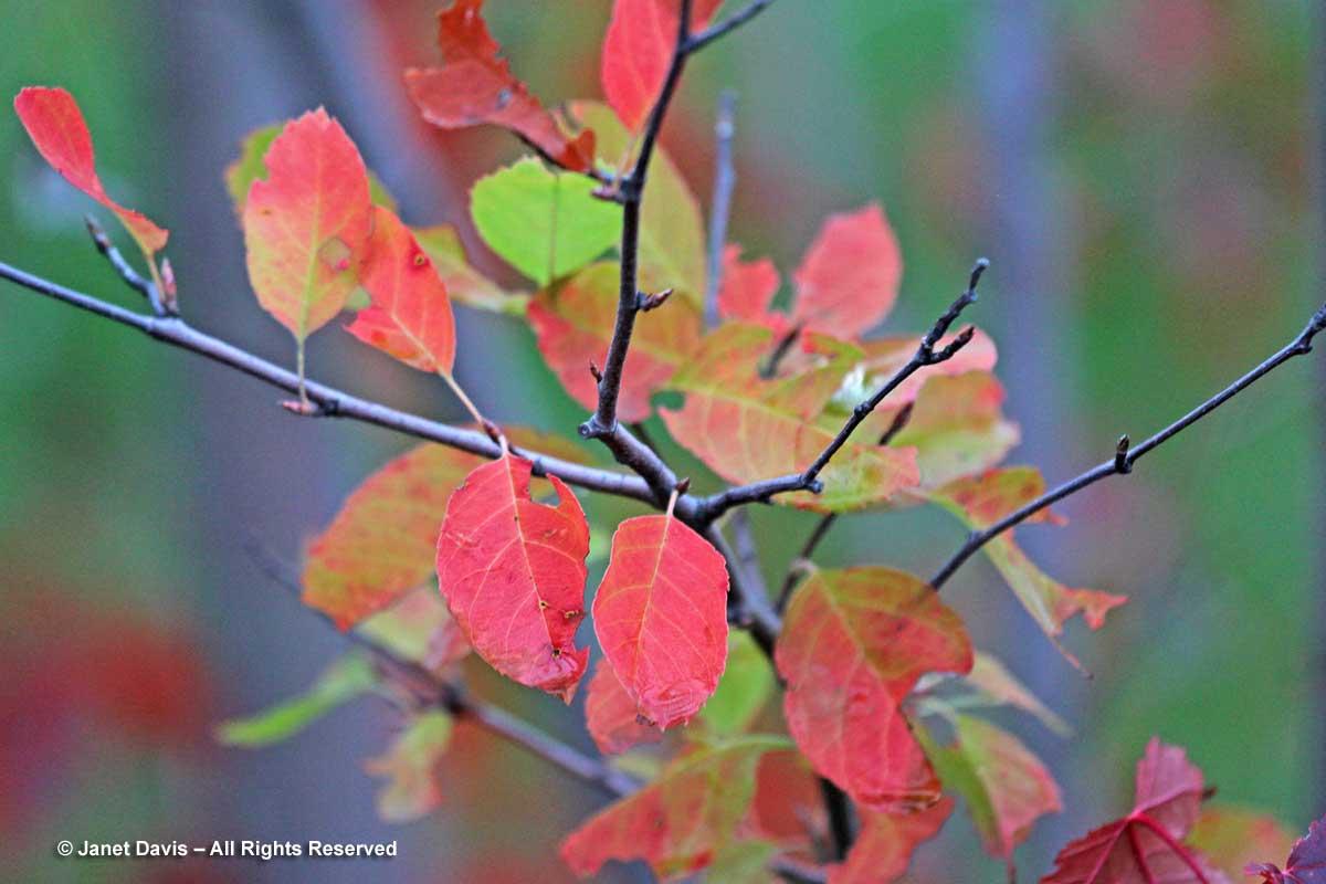 Amelanchier laevis-Allegheny serviceberry