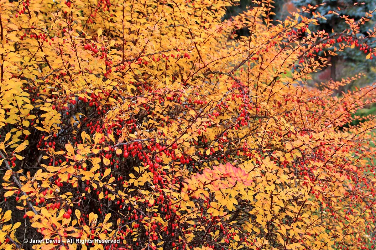 Berberis vulgaris-Common barberry