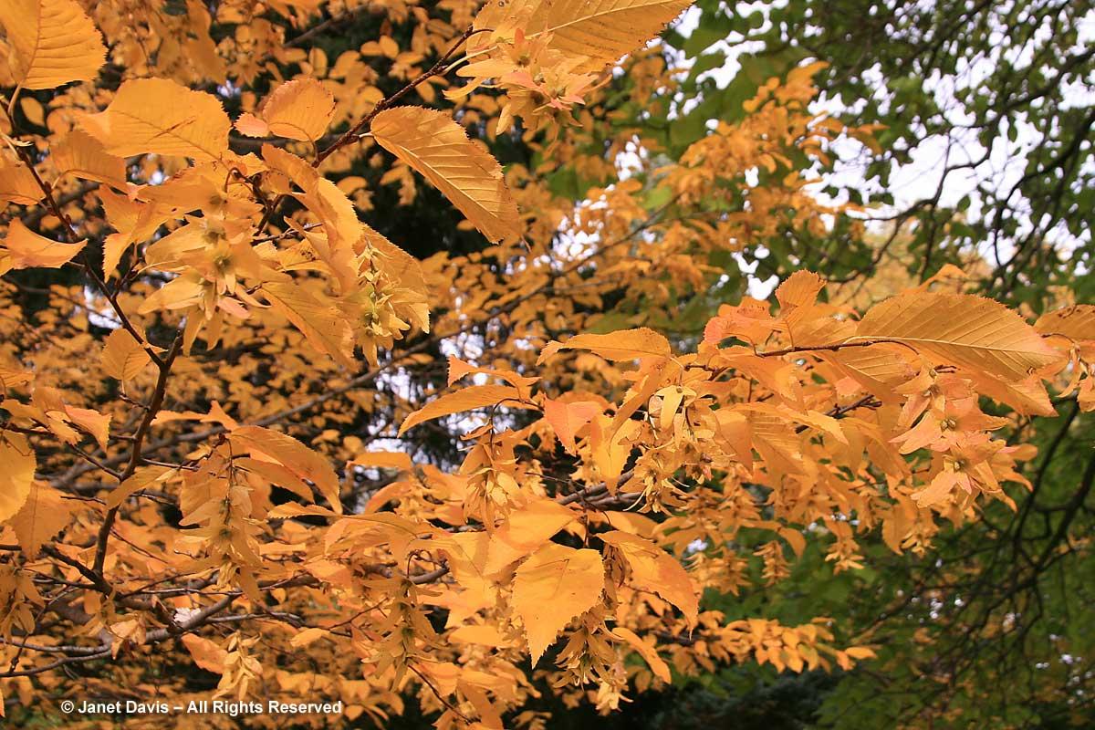 Carpinus caroliniana-American hornbeam