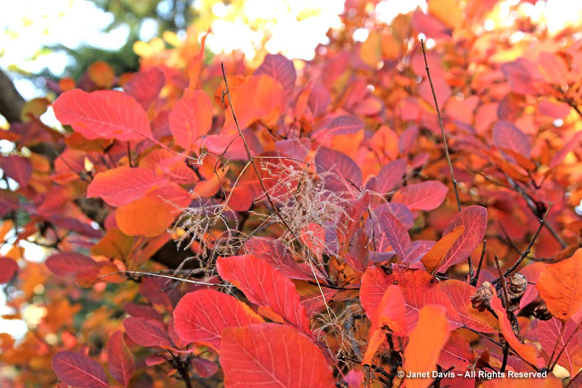 Cotinus coggygria 'Royal-Purple'-Smoke bush