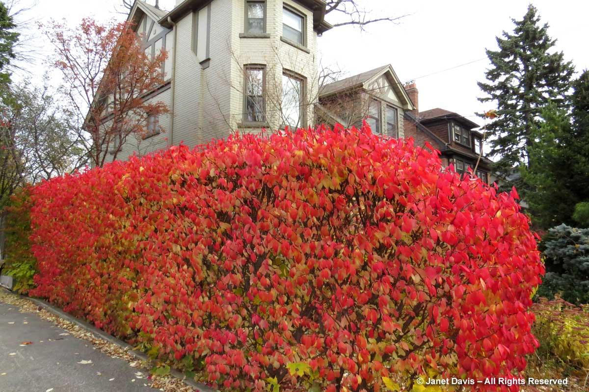 Euonymus alatus 'Compactus'2-burning bush