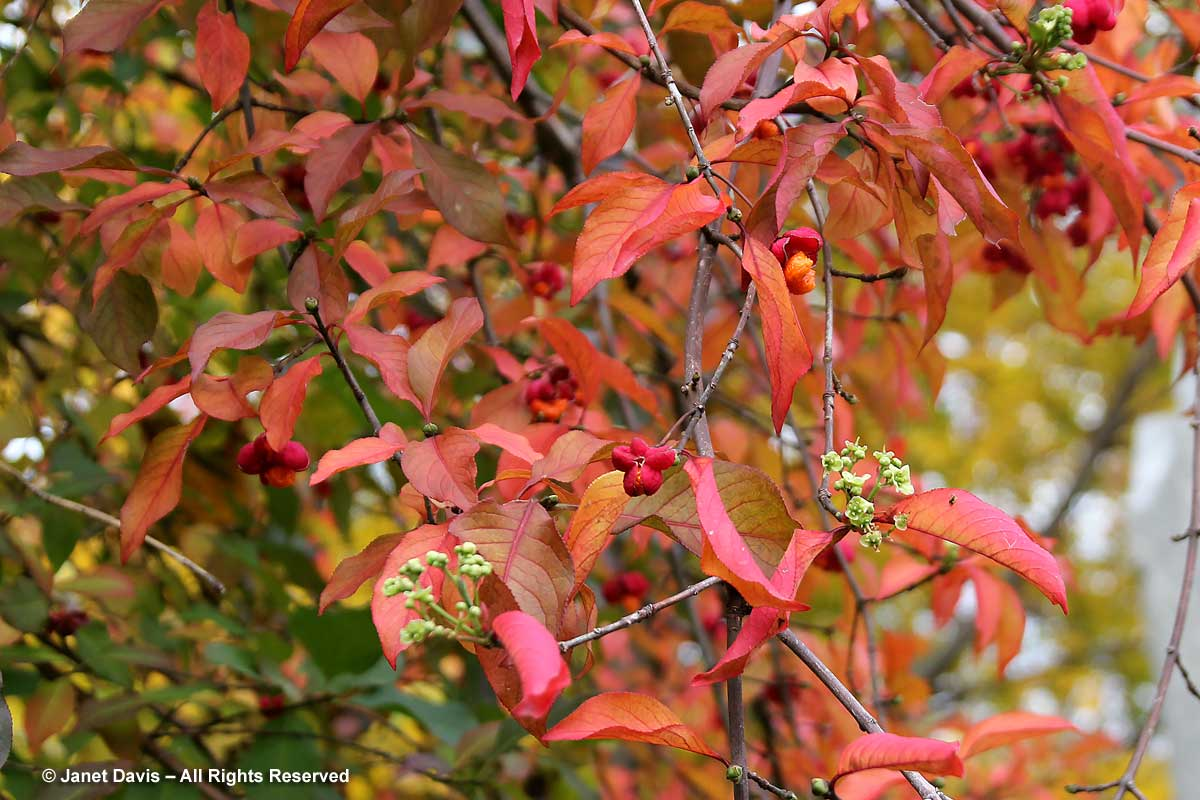 Euonymus europaeus-Spindle tree