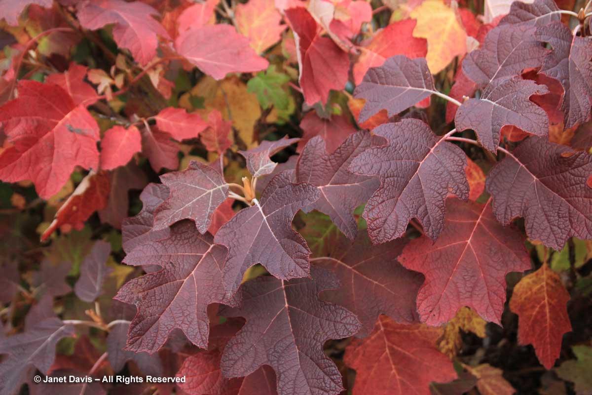 Hydrangea quercifolia - Oak-leaf hydrangea