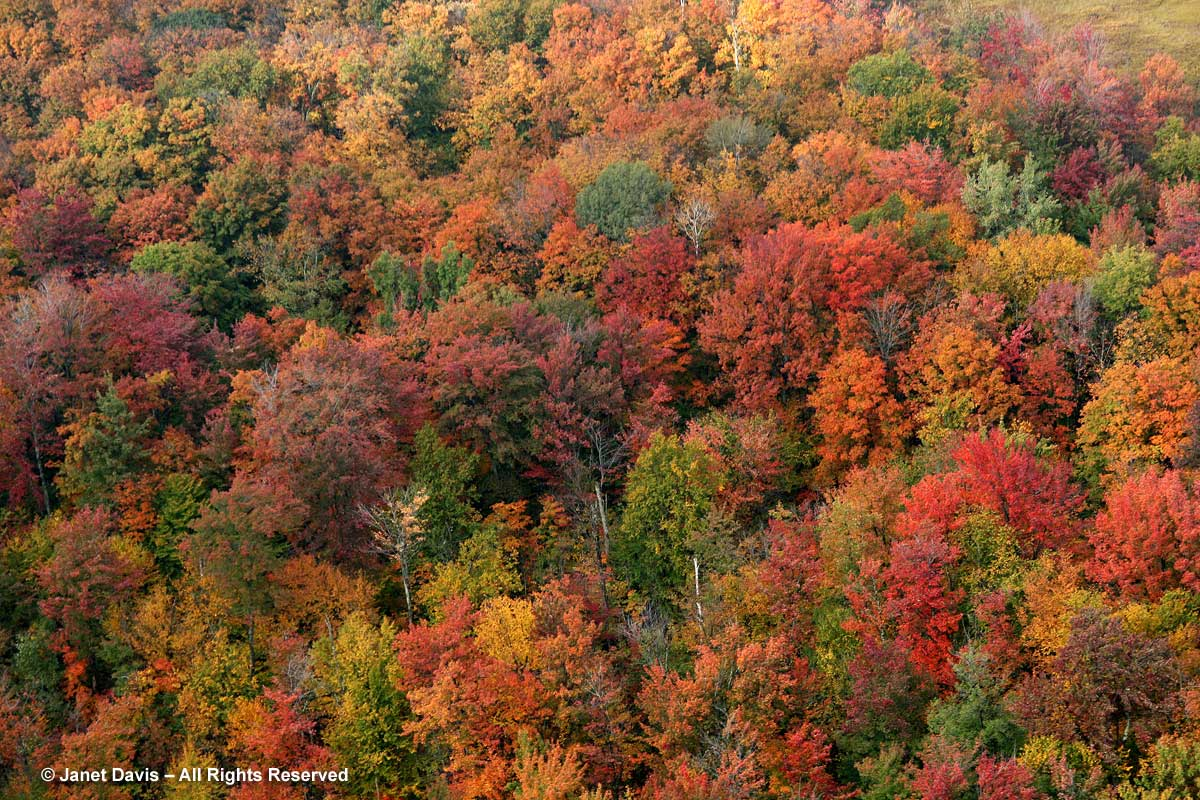 Maples-in-fall-Lake-Muskoka