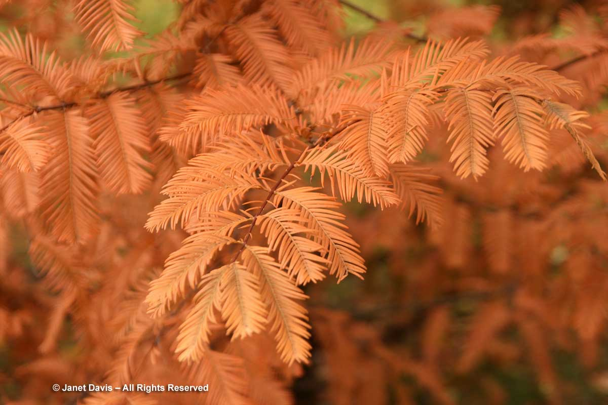 Metasequoia glyptostroboides-Dawn redwood