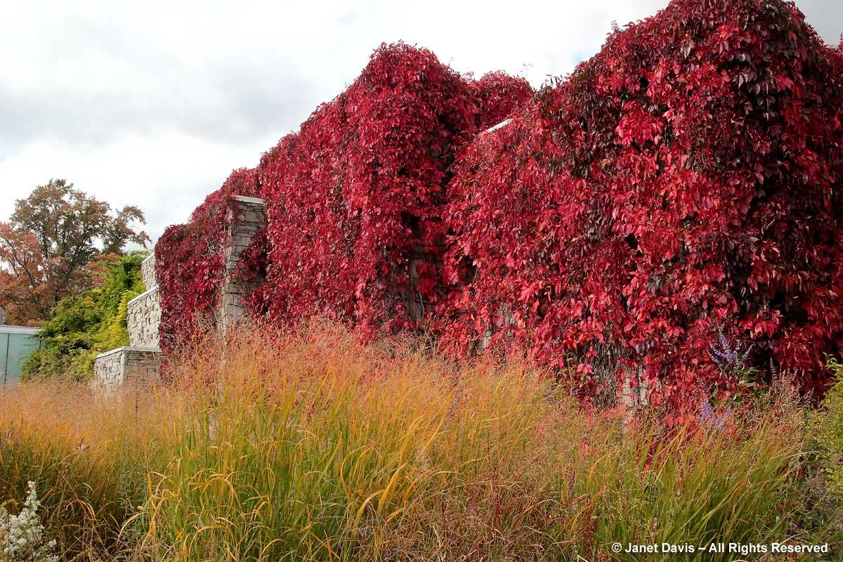Parthenocissus quinquefolia-Virginia creeper