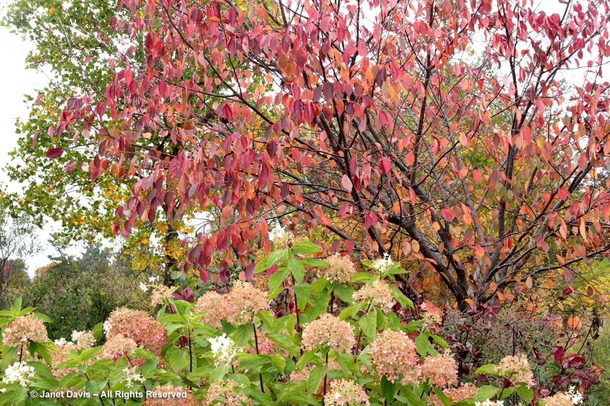 Prunus sargentii-Sargent's cherry
