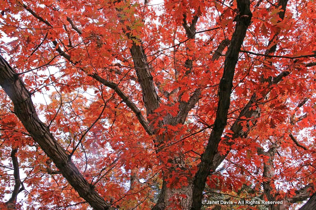 Quercus alba-white oak