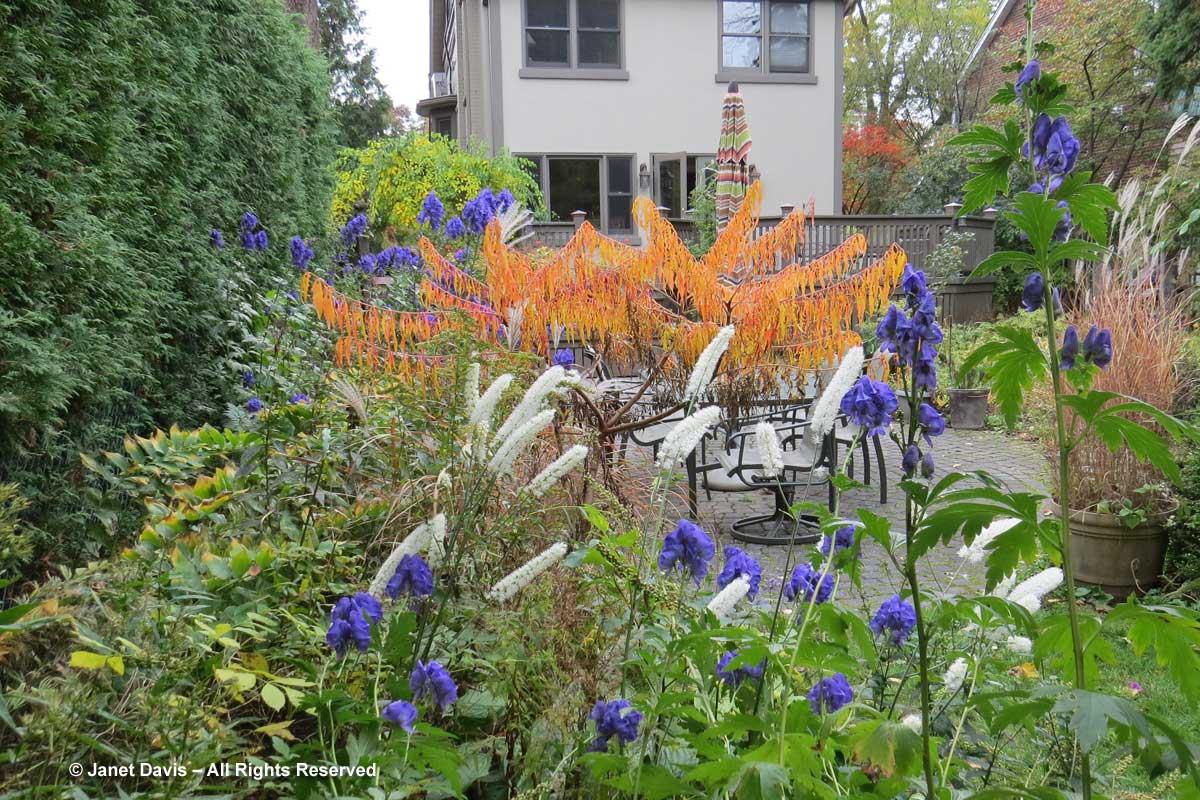 Rhus-typina-'Bailtiger'-Tiger Eyes sumac-my garden