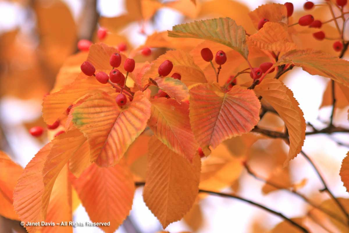 Sorbus alnifolia-Korean mountain ash