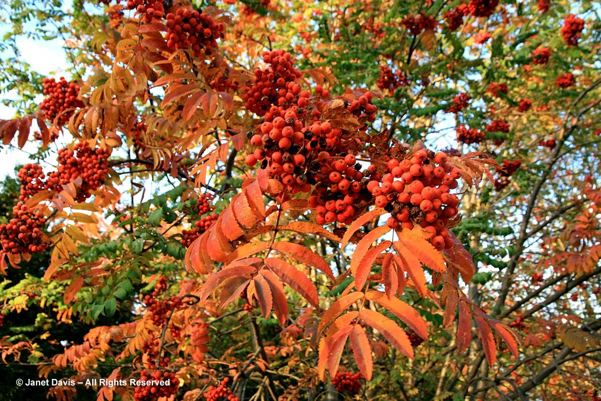 Sorbus aucuparia-Mountain ash