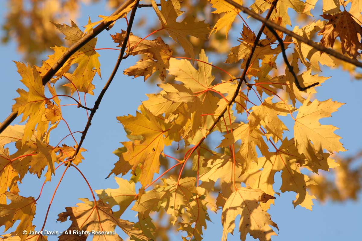 Acer saccharinum-Silver maple