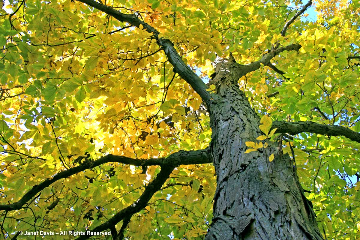 leaf color change in autumn | Janet Davis Explores Colour