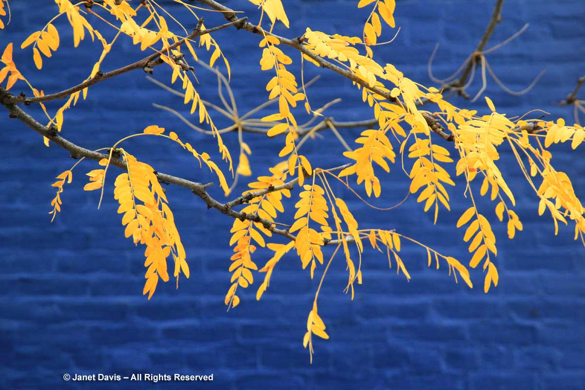 Gleditsia triacanthos-Honey locust