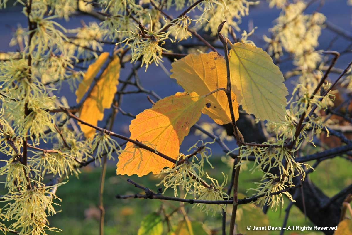 Hamamelis virginiana-Eastern witch hazel1